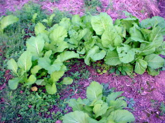 Mustard Greens I grew just throwing seeds on the ground!